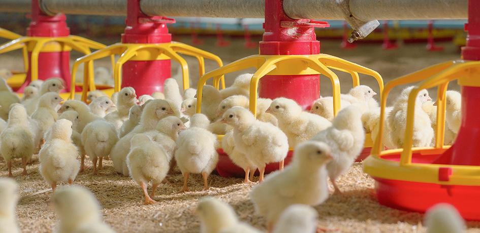 ฟาร์มไก่