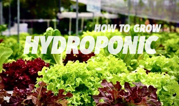 You are currently viewing ปลูกผักกินเองแบบไฮโดรโปนิกส์