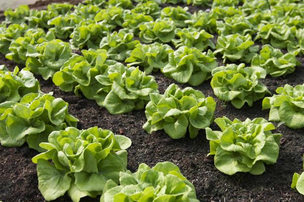 Read more about the article อยากจะปลูกผักออแกนิคจะต้องเตรียมอย่างไรบ้าง